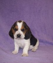 Minnie is a beautiful black white and brown Basset Hound.