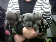 7 blue staffy pupies for sale