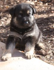 Black and Tan Males and Female Puppies Ready Now