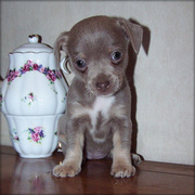 Chihuahua Puppies For Christmas...